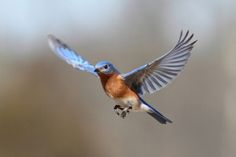 Bluebird In Flight