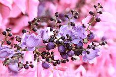 Sapucaia (Lecythis pisonis)  É uma das mais belas árvores nativas. Além de seu grande porte, nesta ocasião aparecem as novas folhas, de cor rosa, junto com as flores arroxeadas. É muito comum nas matas de toda a região da Floresta Atlântica, destacando-se entre as outras. Sua floração normalmente se inicia em Setembro, mas dependendo do ano pode atrasar até Novembro.