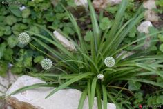 Allium hookeri: common name hooker chives.