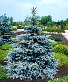 Picea pungens Hoopsii - 1 tree buy online order now Blue Spruce Tree, Buy Plants Online, Gothic Garden, House Landscape, Landscaping Plants, Landscaping Ideas, Flower Show, Outdoor Plants, Trees To Plant