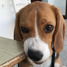 Beagle face ❤ Please follow us @beaglevalko for more interesting pic! Tag your love below⤵ #Beagle