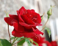 Elegant Bloom Red Rose Flower Backgrounds HD