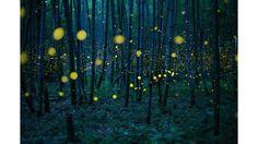 """A """"Floresta de Bambu Encantada"""", da japonesa Kei Nomiyama, foi escolhida como a melhor imagem individual na categoria 'aberta'. A fotografia foi feita nas montanhas da ilha Shikoku e retrata vagalumes no início do período de chuvas"""