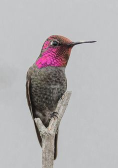 Anna's Hummingbird (Calypte anna) Cute Birds, Pretty Birds, Beautiful Birds, Animals Beautiful, Exotic Birds, Colorful Birds, Hummingbird Pictures, Little Birds, Wild Birds