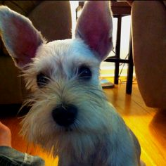 Miniature schnauzer ears stand up
