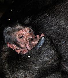 Nace el primer gorila en Bioparc Valencia | A newborn baby gorilla at Bioparc Valencia