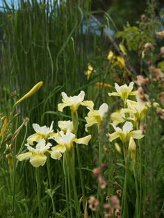 Siberian flag (Iris siberica) is often blue, but this form is yellow and white, it's called 'Butter and sugar'. 2011-06-24