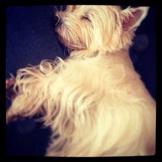 Westie sleep