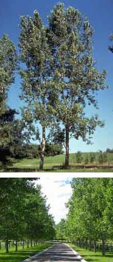 1000 images about drought resistant trees on pinterest for Fast growing drought tolerant trees
