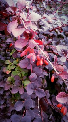 #plant #autumn #fall #violet #red #cold #leaves #berry