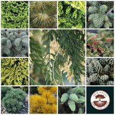 Bogata oferta roślin iglastych