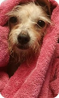Pictures of Cricket a Wirehaired Fox Terrier/Chihuahua Mix for adoption in Acworth, GA who needs a loving home.