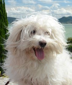 The Maltese is a fun, adorable breed with a coat almost as long as its history… almost. Best Small Dog Breeds, Best Small Dogs, Dog Sleeping Positions, Sleeping Dogs, Maltese Dog Breed, Maltese Mix, Bolognese Puppies, Hipster Dog, White Puppies