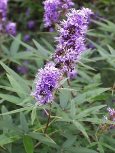 """VITEX AGNUS-CASTUS: Tthe fruit of the chaste tree, called """"the women's herb."""" Used for menstrual cycle irregularities, PMS, a PMDD, and symptoms of menopause, treating fibrocystic breasts, female infertility, preventing miscarriage in women with low levels of a hormone called progesterone, and increasing breast milk. Also used for acne, nervousness, dementia, joint conditions, colds, upset stomach, spleen disorders, headaches, migraine, eye pain, body inflammation, and swelling."""