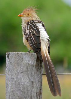 Guira cuckoo (Guira guira) | Reserva Costanera Sur, Buenos Aires; Plaza 24 de Septiembre, Santa Cruz de la Sierra (Bolivia)