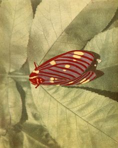 Citheronia Regalis from Moths of the Limberlost, by Gene Stratton-Porter.I am so very fortunate to have the entire collection in first edition. <3 Thanks Grams <3