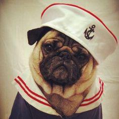 Ahoy sailor pug!