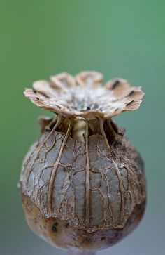 Giant pods or seeds Planting Seeds, Planting Flowers, Watercolor Flower, Fotografia Macro, Seed Pods, Patterns In Nature, Organic Shapes, Organic Form, Natural Forms