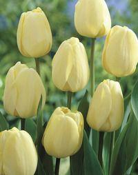 "Ivory Floradale Tulip 24"" Mid-Spring"