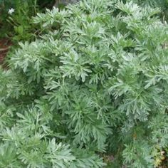 Wormwood is an herb high inches with flat silver-green stem and green-gray leaves. It growth in Europe, Asia and North Africa. Healing Herbs, Medicinal Herbs, Natural Life, Natural Health, Au Natural, Natural Herbs, Natural Medicine, Herbal Medicine, Dwarf Evergreen Shrubs