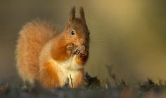 In het winterzonnetje... - Zoogdieren (bever, vos, muis) - eekhoorn