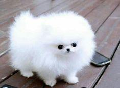 Cute White Puppies, Cute Baby Puppies, Cute Animals Puppies, Super Cute Puppies, Baby Dogs, Cute Funny Animals, Cute Cats, Cute Small Dogs, Fluffy Puppies
