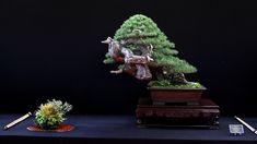 One of four winning trees at the Bonsai San Show: Pinus Sylvestris by Andres Alvarez Iglesias #bonsai