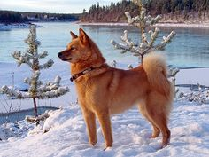 Suomen pystykorva Finnisth dog