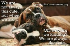 """OMG look familiar 😍 Figure out even more details on """"boxer dogs"""". Look into our web site. Boxer Breed, Boxer Puppies, Cute Puppies, Cute Dogs, Boxer Rescue, Awesome Dogs, Chihuahua Dogs, Boxer And Baby, Boxer Love"""
