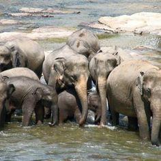 River Elephants - Sri Lanka