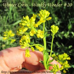Winter cress AKA yellow rocket (Barbarea vulagris) -  Weekly Weeder #20 - range and identification, wildlife use, use and food and medicine. #wildcrafting