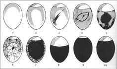 """1. Friskt ägg. 2. Obefruktat ägg ca 1 v. 3. Död grodd ca 1 v. 4. Död grodd 1-2 v (mörk blodring) 5. Dött foster ca 2 v (mörkt parti med klara kanter). 6. Levande grodd ca 1 v (blodkärl i """"spindeln""""). 7. Levande foster ca 2 v (blodkärl och mörkt parti). 8. Levande foster ca 3 v (helt mörkt) för stor luftblåsa. 9. Dito med för liten luftblåsa. 10. Dito med lagom luftblåsa."""