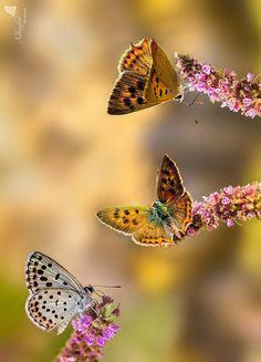 bellasecretgarden: Butterfly by Linda Miranda (via Pin by Yvonne Hedlund on Wings Papillon Butterfly, Butterfly Kisses, Butterfly Flowers, Butterfly Bush, Butterfly Pavilion, Butterfly Party, Butterfly Pictures, Beautiful Bugs, Beautiful Butterflies