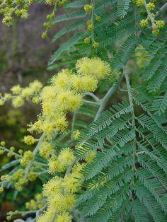 Close up of the Acacia tree foliage. Mimosas, Acacia, Australian Plants, Fruit Plants, Corfu, Canterbury, Garden Inspiration, Garden Plants, Singapore