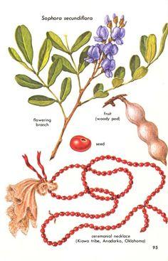 Banisteriopsis caapi  99