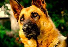 pastor aleman, características de un gran perro