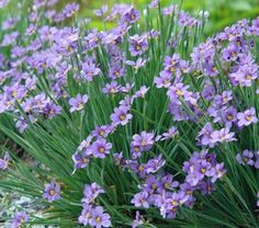 Sisyrinchium angustifolium 'Lucerne' (Blue-eyed grass) native clumper, part to full sun. Member of iris family.
