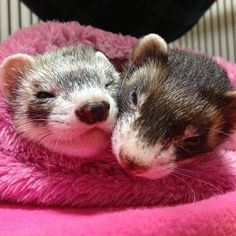 PHOTO OP: Ferrets in a Snuggie  Via @ackey_73.