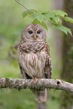 Barred Owl - distinguished by its dark eyes. Owl Bird, Bird Art, Pet Birds, Owl Photos, Owl Pictures, Beautiful Owl, Animals Beautiful, Animals And Pets, Cute Animals