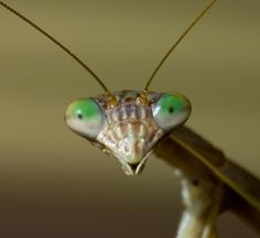 Face_of_Praying_Mantis.jpg (653×600)