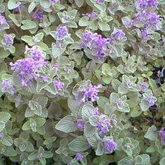 Nepeta Belle Plante, Nature, Animals, Gluten, Gardening, Deco, Gardens, Plant Cuttings, Planting Flowers