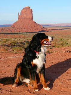 Free Image on Pixabay - Bernese Mountain Dog, Canine, Dog Cute Dogs Breeds, Large Dog Breeds, Large Dogs, Bernese Mountain, Mountain Dogs, English Coonhound, Cute Puppy Pictures, Vacation Trips, Cute Puppies
