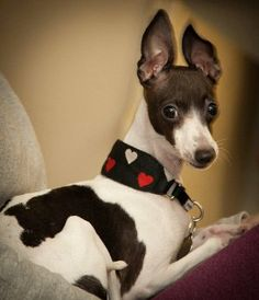 Italian Greyhound Rescue of Minnesota and North Dakota is part of IGCA (Italian Greyhound Club of America) Rescue. Our volunteers and foster homes are located across Minnesota and North Dakota, as well as Wisconsin, Iowa, and South Dakota. We are a 501(c)(3) charitable organization.