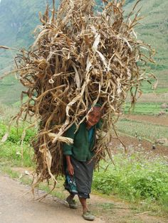 H'Mong lady in the moutains carrying dried corn hay - Ha Giang, North Vietnam