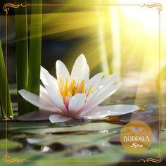 lenda Flor de Lotus