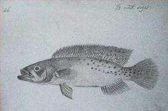 Ilustração de Wallace de jacundá Crenicichla monicae coletado no Alto Rio Negro há mais de 160 anos (imagem: Alfred Russell Wallace)