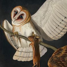 """In an excerpt from Audubon's writings he describes the barn owl as such; """"When on the round, this Owl moves by sidelong leaps, with the body much inclined downwards. If wounded in the wing, it yet frequently escapes through the celerity of its motions. Its hearing is extremely acute, and as it marks your approach, instead of throwing itself into an attitude of defence, as Hawks are wont to do, it instantly swells out its plumage, extends its wings and tail, hisses, and clacks its mandibles…"""