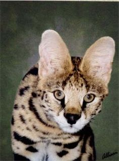 savannah cat. I want one SOOO bad!! They love water and act like a dog, but they are HUGE! Core said no :oT