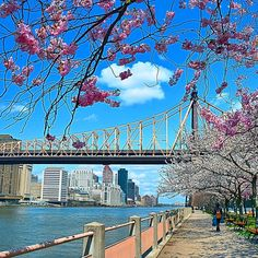 """""""Springtime on Roosevelt Island. Cherry blossoms with the Ed Koch Queensboro Bridge in the background #ig_great_pics #nbc4ny #ImagesofNYC…"""""""