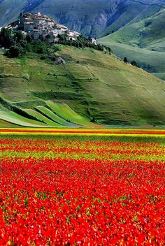 Field of flowers at Castelluccio, Umbria, Italy